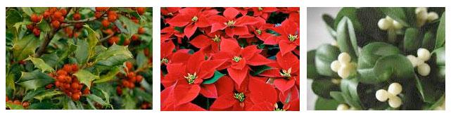 Posionous-Christmas-plants