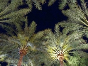 The Florida Palm Tree is a Gorgeous Sight!