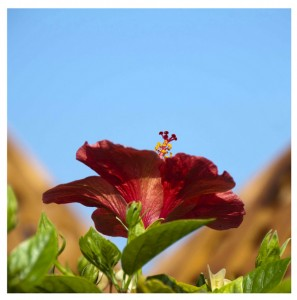 Meaning of Hibiscus
