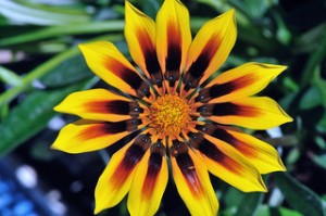 The Gazania. Image courtesy of Flickr user americo7